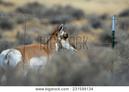An American Pronghorn Squeezing Under A Barbed Wire Fence.