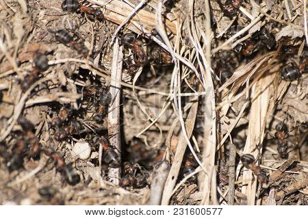 Formica Rufa Anthill, Red Wood Ant Anthill Composition