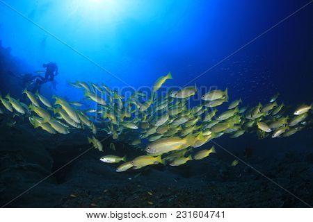 Scuba divers and school of snapper fish