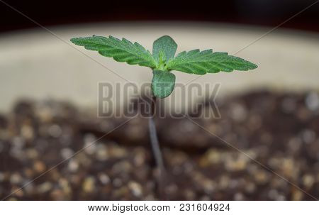 Young Hemp Cannabis Marihuana, Shoots Through The Ground