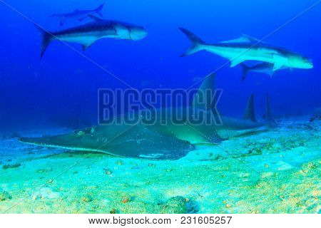 Giant Guitarfish (Shovelnose Ray) Guitar Shark Ray