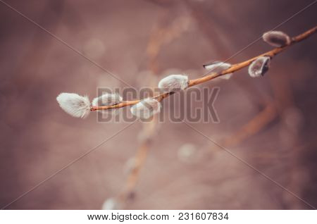 Blooming Willow Twig With Catkins On Natural Spring Background