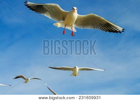 The Seagulls Flying In The Sky With Light Clouds And Blue Color Of Sky In The Background