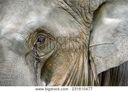 Close Up Of Elephant In Zoo Park On Tusk. Detail Of An Elephant Eye
