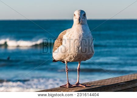 A California Seagull (larus Californicus) Stands On The Oceanside, California Fishing Pier In San Di