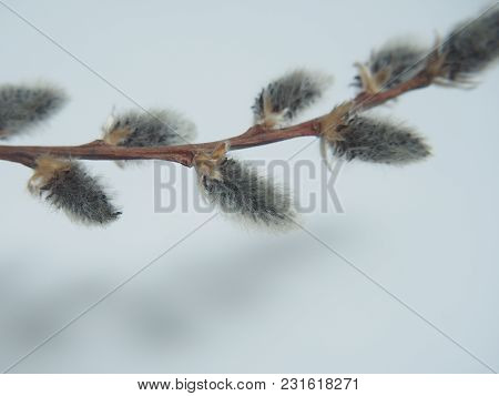 Willow Twig With Blooming Flowers. Photo On A White Background.