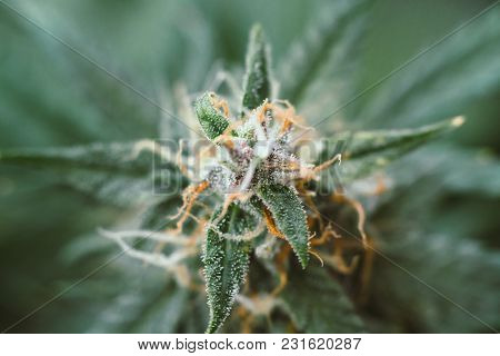 Sugar Trichomes Cbd Thc, Concepts Of Grow And Use Of Marijuana For Medicinal Purposes. Concepts Lega