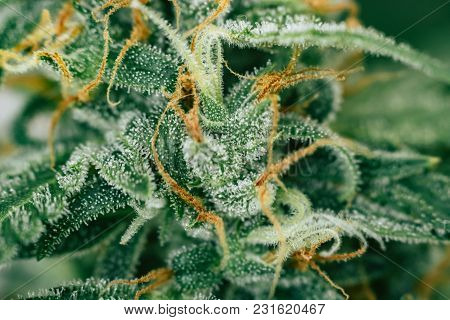 Buds Cannabis Macro Shot On Weed With Sugar Trichomes. Concepts Of Grow And Use Of Marijuana Trichom