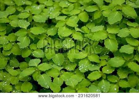 A Macro Image Packed Full Of Fresh Green Plants With Water Droplets On The Leaves.