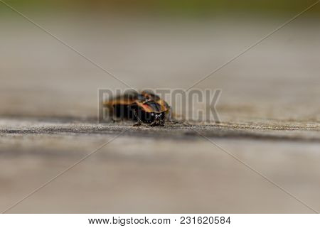 A Very Close Macro Image Of A Firefly Crawling On Wood With Very Limited Depth Of Field.