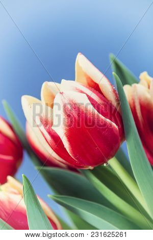 Closeup Of Two Color Tulips, In Red And Yellow, Blooming In Spring. Blue Background, Vintage Filter