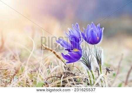Beautiful Violet Crocus, First Spring Flowers. Shallow Depth Of Field