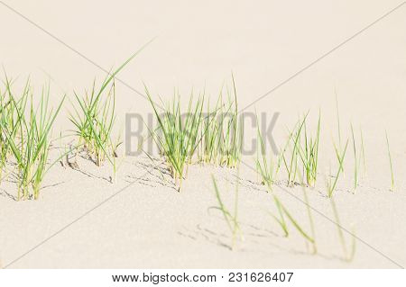 Green Grass On The White Sand. Shallow Depth Of Ffield
