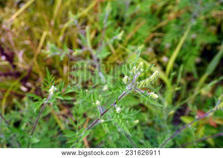 Common Ragweed (ambrosia Artemisiifolia) Blooms In Joliet, Illinois, During August.