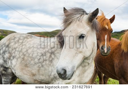 Beautiful White And Brown Horses In Iceland. Shallow Depth Of Field