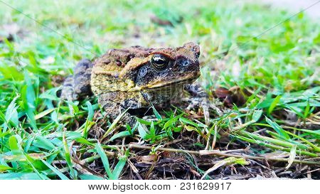 Bufo Marinus Frog In North Lakes Forest, Australia.