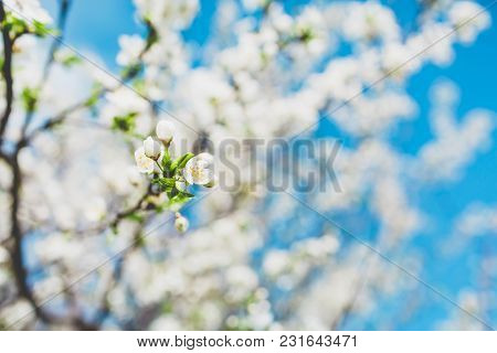 Blooming Fruit Tree With White Flowers In Spring Garden. Spring Time.