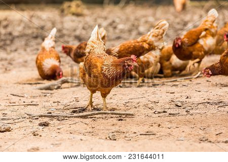 Happy Chickens (hens)