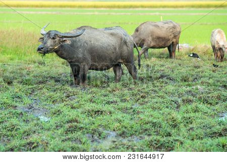 Buffalo Playing Mud In The Farm. Animals Used In The Past Plow.