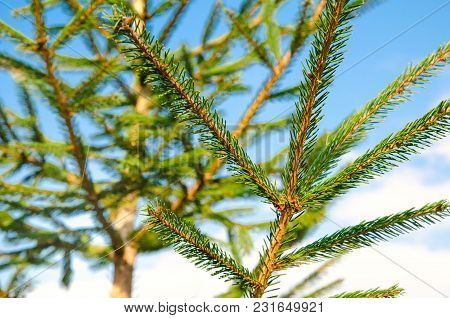 A Pine Tree Against The Blue Sky