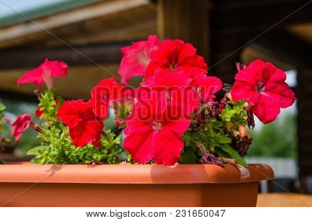 A Red Flowers In The Pot Outdoors