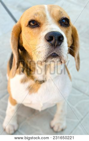 A Beagle Dog Outdoors At The Backyard