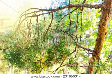 A Branch Of Pine In Coniferous Forest