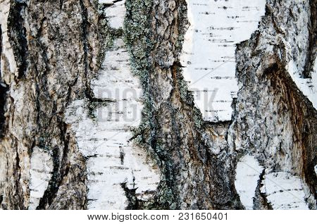 A Birch Bark Texture As A Background