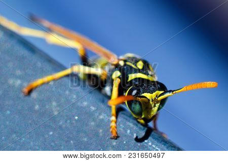 A Wasp On A Blue Background Macro
