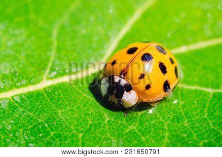 A Ladybug On A Green Leaf Macro