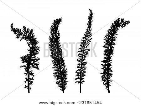 Set Of Hand Drawn Wild Herbs Silhouettes Isolated On White Background. Elegant Wild Plants For Your
