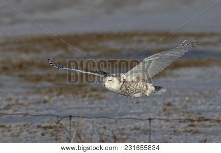 Snowy Owl (bubo Scandiacus) Flies Low Hunting Over An Open Snowy Corn Field In Canada