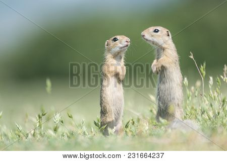 Two Cute European Ground Squirrels Standing And Watching On A Field Of Green Grass,spermophilus Cite