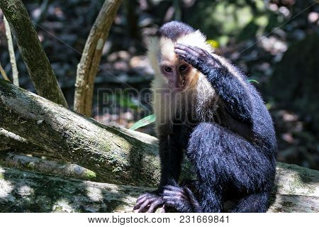 White-headed Capuchin Monkey Resting In National Park Manuel Antonio - Costa Rica