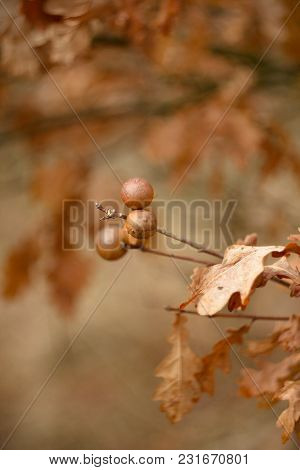 Hack, Oak Apple Is A Plant Formed On Plants Or Trees, Such As Oak, By The Action Of Substances Produ