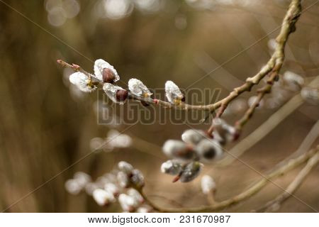 The Cats Are One Of The Symbols Of Spring And Easter. Typically, They Are Twigs Of The Willow, With