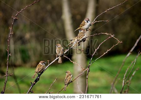 Sparrows On Branches Of Bushes With Blurred Background