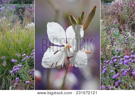 Collage Autumn - Gaura Lindheimeri Blossom And Flowerbed With Grass And Purple Aster Bush