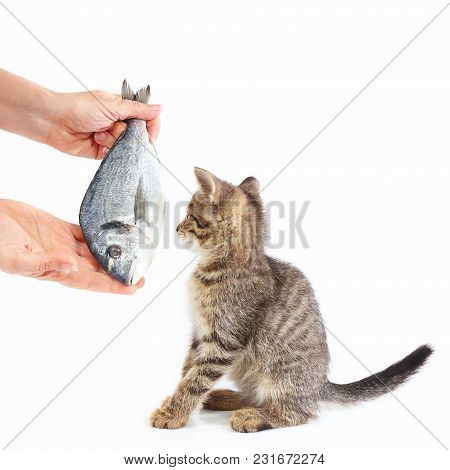 Female Hand Offers A Pretty Kitten A Dorado Fish On A White Background