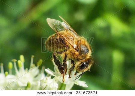Close Up Of Honey Bee Pollinating Flower In The Garden. Detail View Of European Honeybee Pollinate F
