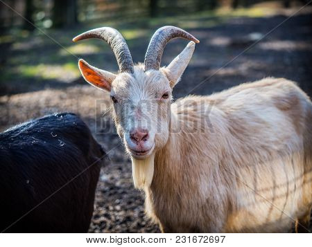Lovely White Male Goat On A Sunny Spring Day
