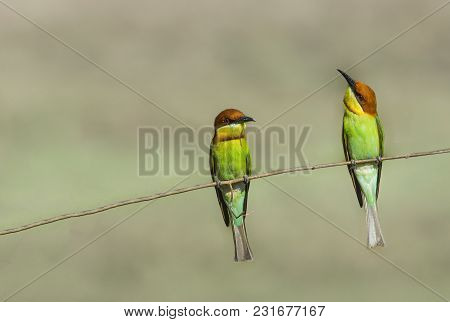 Couple Of Chestnut-headed Bee-eater (merops Leschenaulti) Bird Perching On A Branch.
