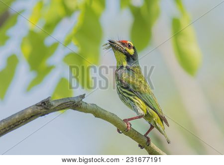 Bird (coppersmith Barbet Crimson-breasted Barbet Coppersmith Megalaima Haemacephala) Yellow Color Pe