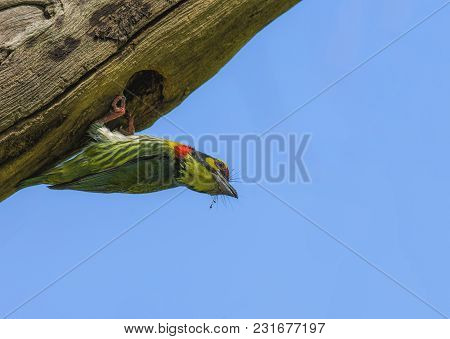 Bird Coppersmith Barbet Yellow, Green And Red Color Perched On A Tree In A Nature Wild