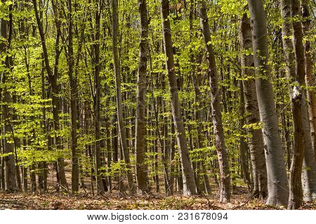 Beech Forest In Early Spring. Meditation Landscape.