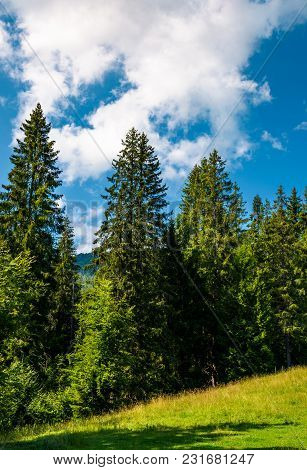 Spruce Forest On A Grassy Meadow. Lovely Summer Scenery