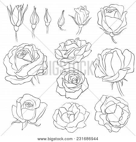 Rose Flowers, Vintage Vector Floral Set Of Isolated Elements In Victorian Style, Imitation Of Engrav
