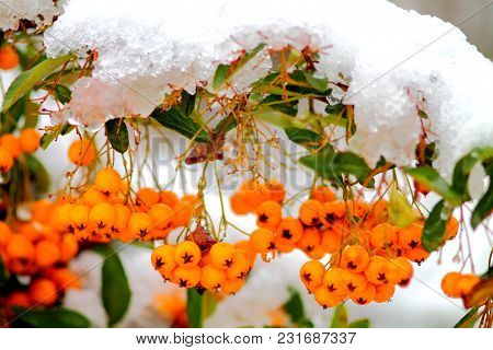 Orange Yellow Rowanberry (sorbus Aucuparia) Branch Covered With Snow Shallow Focus Background.