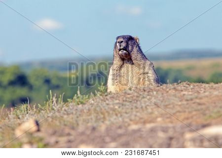 Big Furry Marmot In The Meadow On A Sunny Summer Day Against A Blue Sky