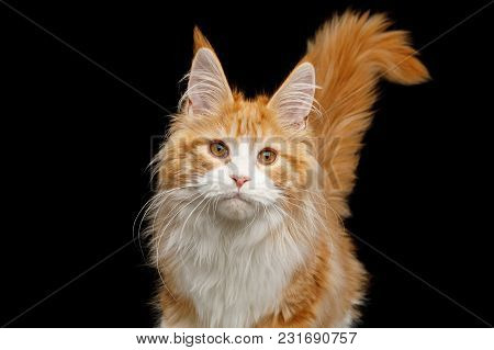 Portrait Of Ginger Maine Coon Cat With Tail, Stare In Camera, Isolated Black Background